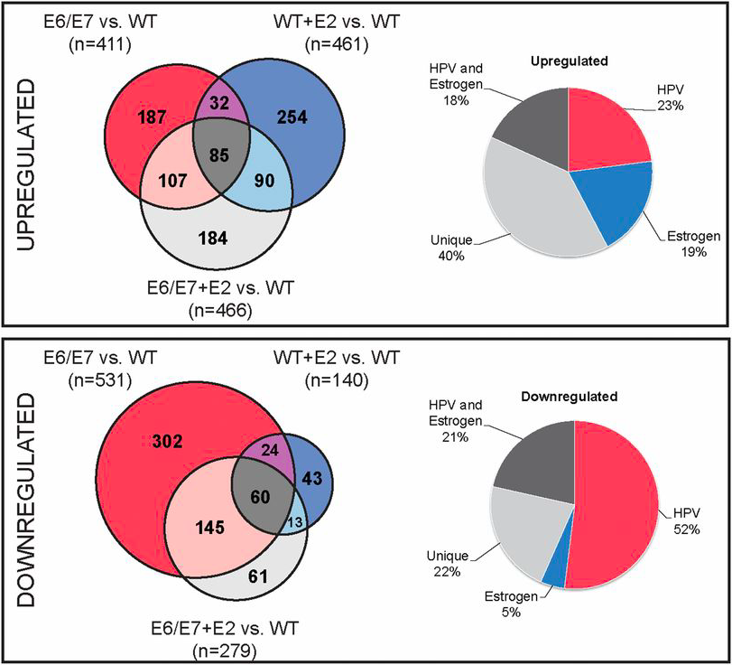 Expression of both HPV oncogenes E6/E7 and estrogen (E2) alter host