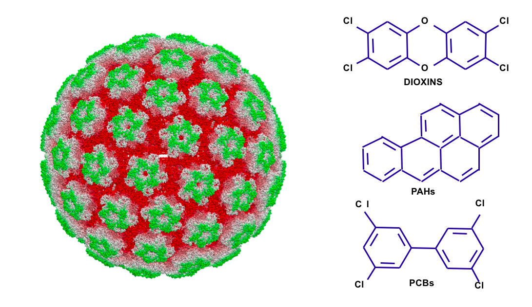 Left: a papillomavirus. Right: dioxins, polycyclic aromatic hydrocarbons (AHRs), and polychlorinated biphenyls (PCBs). PAS proteins regulate a variety of downstream responses to these three molecules, some of which are toxic effects.