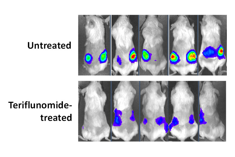 This image shows the amount of luminescence in mice 13 days after treatment was started compared to an untreated sample.